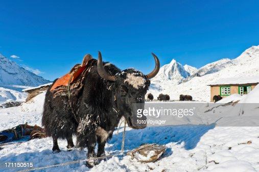 Yak with traditional saddle snow mountain valley Khumbu Himalaya