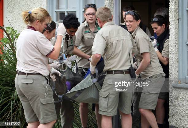 'Yakini' the male Gorilla is moved after receiving a medical checkup from vets at Melbourne Zoo before being moved to a new multi million dollar...