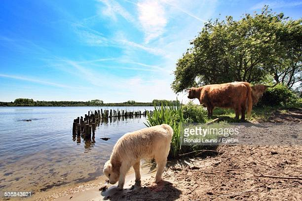 Yaks And Calf By River Against Sky
