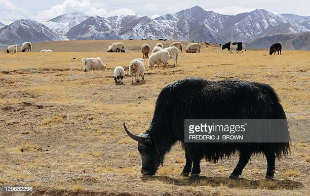 Yaks and sheep graze on grasslands outside of Gonge in Hainan Tibetan Autonomous Prefecture on the QinghaiTibet plateau on April 19 2010 in northwest...