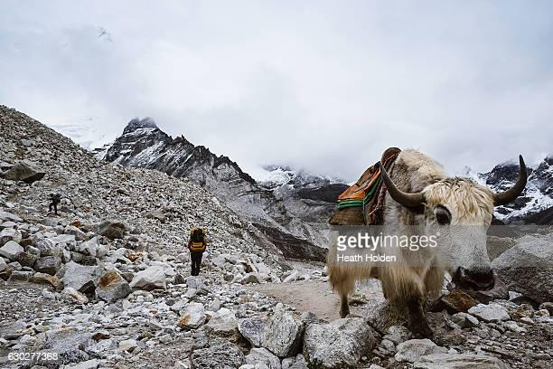 Yaks are an essential 'work horse' in the Himalayas they carry supplies right up to Everest base camp You must give way to them and always stay on...