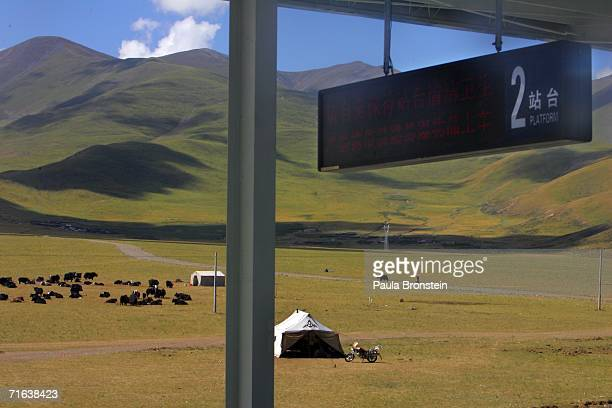 Yaks graze in a field adjacent to a train station platform on the QinghaiTibet railway on August 8 2006 heading towards Xinning Tibet Autonomous...