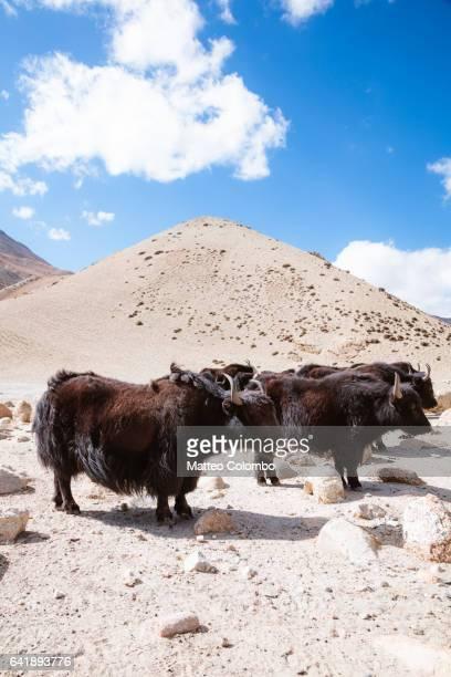 Yaks in a field, Upper Mustang region, Nepal