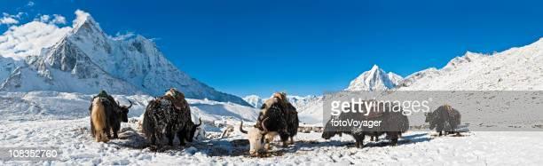Yaks in alta quota vertici di montagna neve panorama Himalaya in Nepal