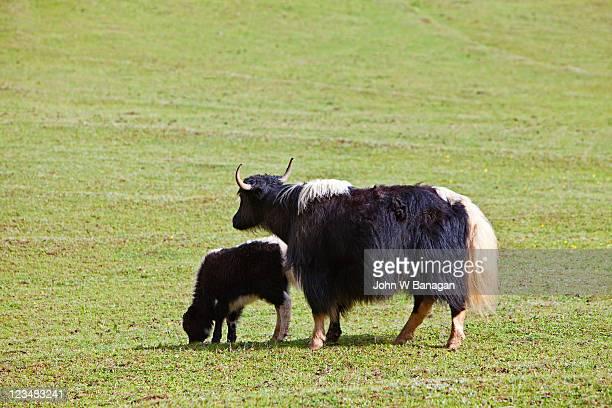 Yaks near Lijiang, Yunnan, China