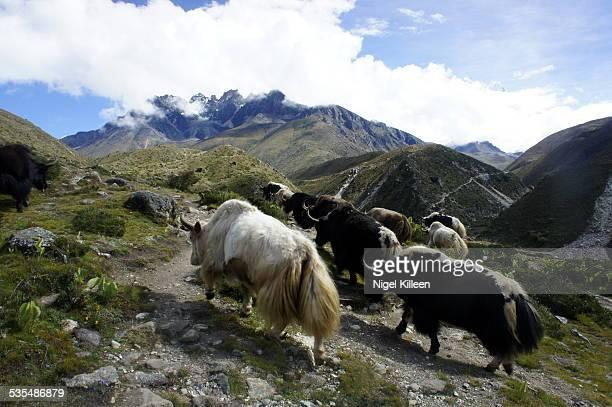 Yaks near Mt Everest Base Camp