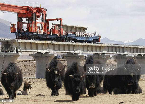 Yaks wander around the construction site of the 2040km long QinghaiTibet Railway at an altitude of 4300 meters above sea level on May 6 2005 in...