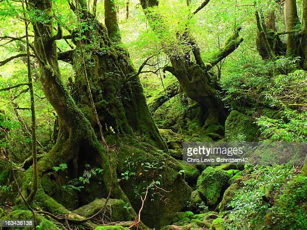 Yakushima Mossy Forest