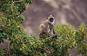 A watchful Hanuman Monkey perched in the forest canopy, feeding.