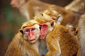 toque macaque aka red-faced macaque portrait red-pink facial skin, whispy hair ripples comic humour