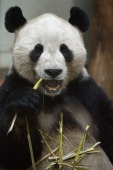 Yang Guang the male Panda at Edinburgh Zoo eats bamboo inside his enclosure on April 10 2013 in Glasgow Scotland Zoo experts can now say that the...