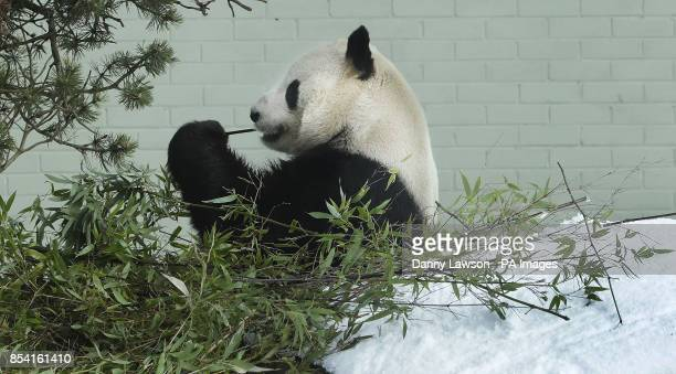 Yang Guang the Panda eats some bamboo in the snow at Edinburgh Zoo