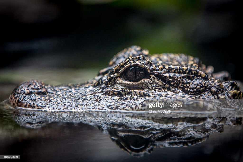 A Yangtze Alligator is seen during a media tour ahead of the opening of River Safari at the Singapore Zoo on March 25, 2013 in Singapore. The River Safari is Wildlife Reserves Singapore's latest attraction. Set over 12 hectares, the park is Asia's first and only river-themed wildlife park and will showcase wildlife from eight iconic river systems of the world, including the Mekong River, Amazon River, the Congo River through to the Ganges and the Mississippi. The attraction is home to 150 plant species and over 300 animal species including 42 endangered species. River Safari will open to the public on April 3.