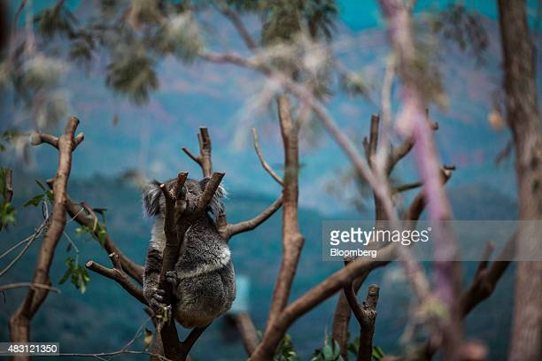 Yani a koala from South Australia clings to a tree at the Adventures in Australia exhibit at Ocean Park operated by Ocean Park Corp in Hong Kong...