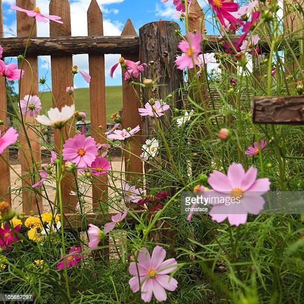 yard fence wiht pink calliopsis