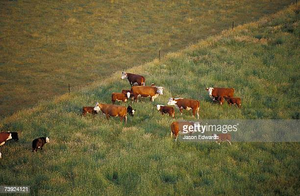 Aerial view of a herd of cattle in a farm paddock grazing.