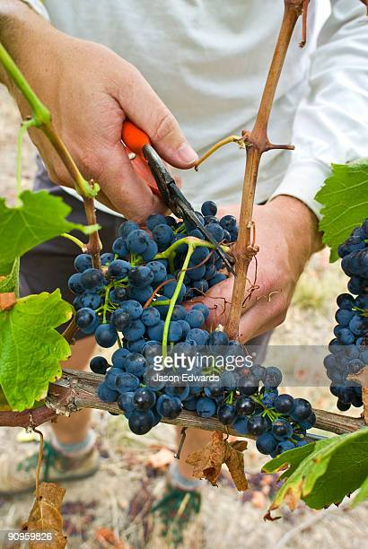 Harvesting lush bunches of Syrah Grapes in a vineyard using secateurs.
