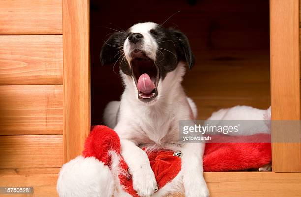 Yawning Christmas Pup