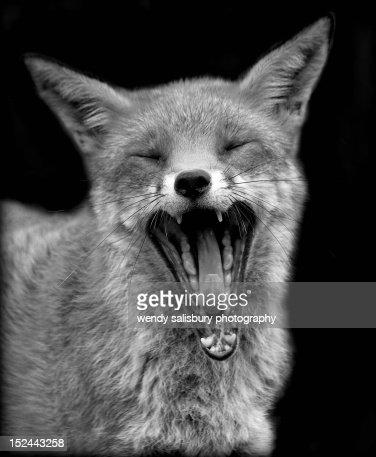Yawning fox : Stock Photo