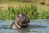 Yawning common hippopotamus in the water. The common hippopotamus (Hippopotamus amphibius), or hippo. Africa