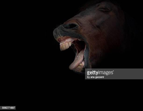yawning horse
