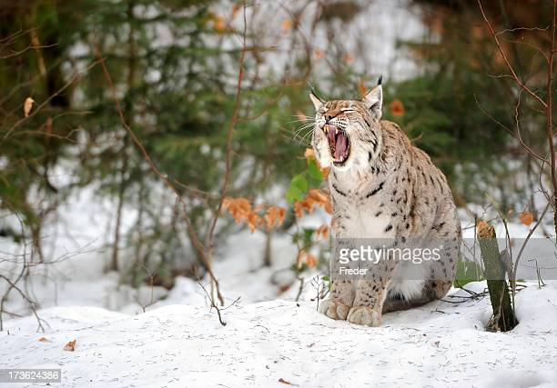 yawning lynx