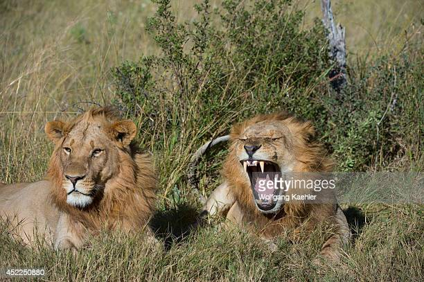 Yawning male lions laying in the grass at the Linyanti Reserve near the Savuti Channel in northern part of Botswana