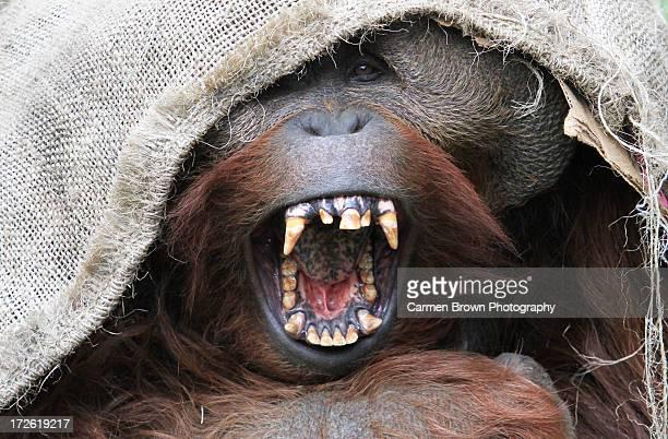 Yawning orangutan ready for an afternoon nap