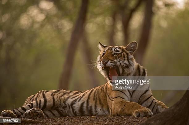 Yawning wild tiger