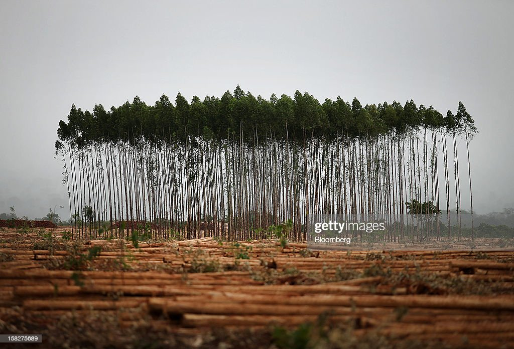 7 year old eucalyptus trees stand before being harvested on a farm leased by Eldorado Celulose e Papel S.A in Andradina, Brazil, on Tuesday, Dec. 11, 2012. Eldorado Celulose e Papel S.A is finishing construction on a pulp processing plant that is expected to be one of the the world's largest single-line pulp plants when it reaches peak production. Photographer: Dado Galdieri/Bloomberg via Getty Images