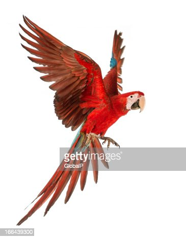 1 year old green winged Macaw in flight. Ara Chloropertus : Stock Photo