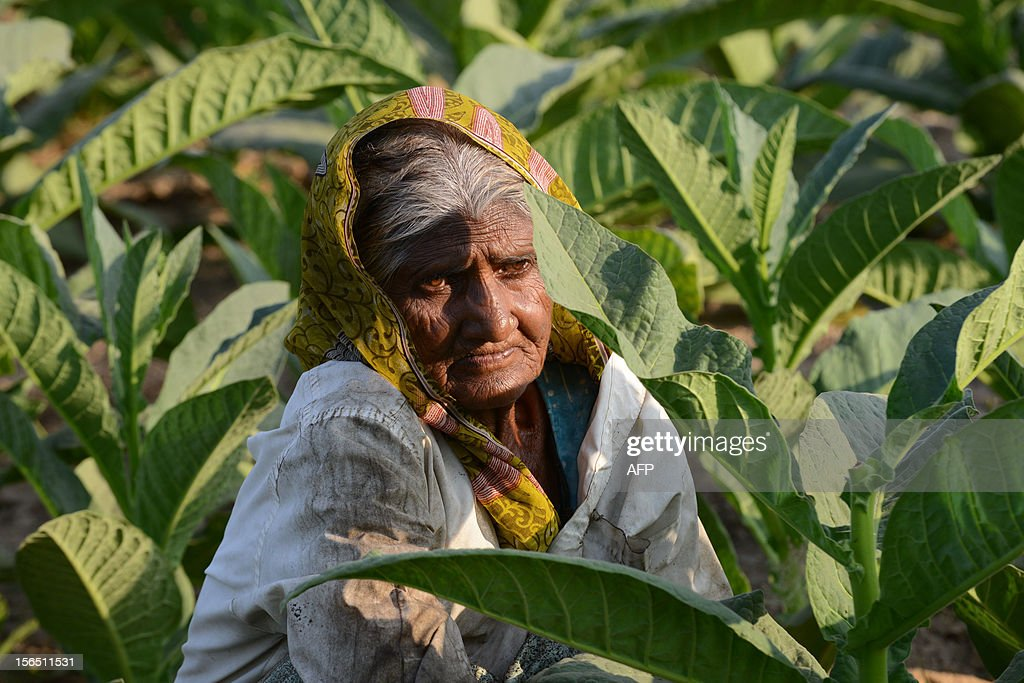 70 year old Indian farmer, Maniben Kanjibhai Solanki, works in her field of tobacco at the village of Nidrad, some 30kms. from Ahmedabad on November 16, 2012. According to recent reports, tobacco farmers slammed the World Health Organization (WHO) Framework Convention on Tobacco Control (FCTC), claiming that they have always been consistently deaf to the plight of tobacco farmers and stakeholders. AFP PHOTO/Sam PANTHAKY