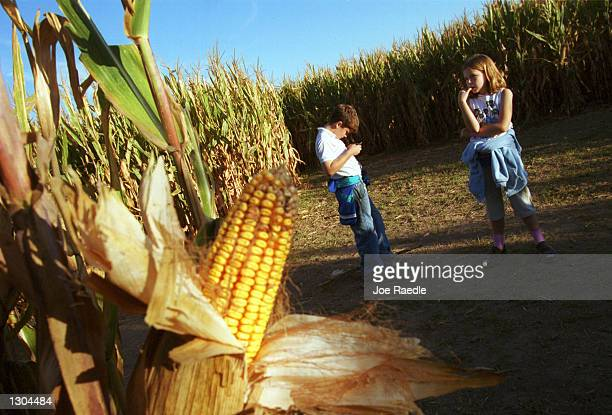 10 year old Nathan Bacchus left and 9 year old Michel Bacchus check the map as they try to find their way out of the 10acre cornfield maze October 19...