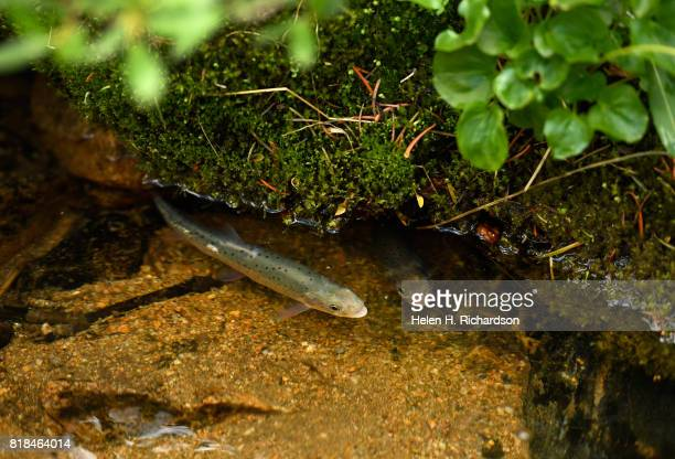 Yearling Greenback Cutthroat trout just released into Herman Gulch look for cover in their new environment on July 17 2017 in Clear Creek County near...