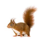 Eurasian red squirrel - Sciurus vulgaris (2 years) in front of a white background.