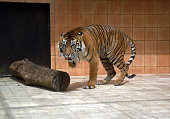 10 years old Sumatran tiger Salamah from Aceh who survived by three feet in the zoo Taman Safari Indonesia Bogor West Java on June 172016 The loss of...