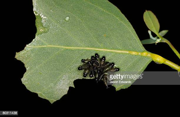 A cluster of Caterpillars, Spitfire Larva,  feeding on a leaf.
