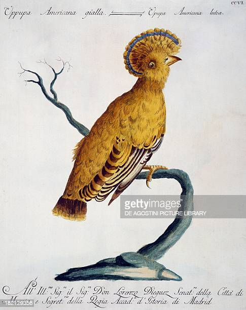 Yellow American Hoopoe colour etching by Lorenzo Lorenzi and Violante Vanni from Natural History of Birds by Saverio Manetti Florence 17671776 Milan...
