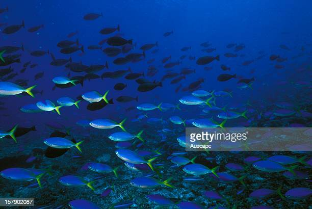 Yellow and blueback fusiliersCaesio teresschoolSolomon Islands