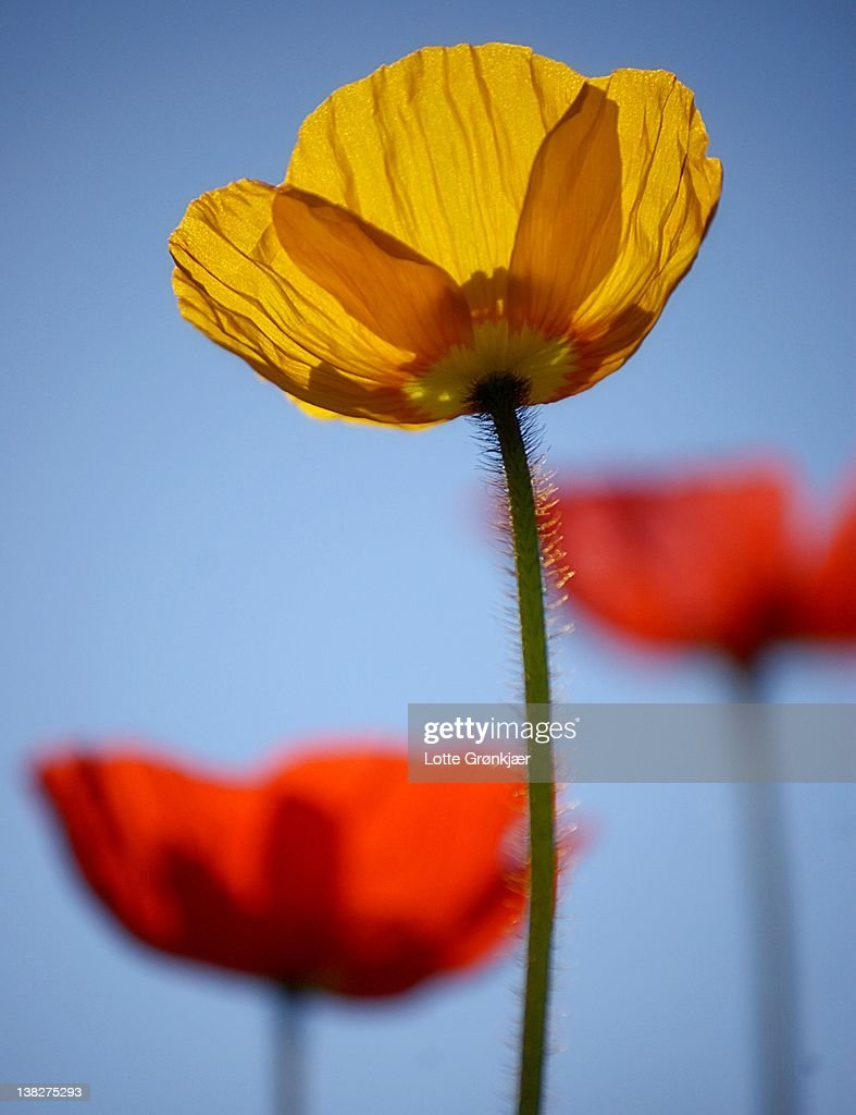 Yellow and red poppies against blue sky : Stock Photo