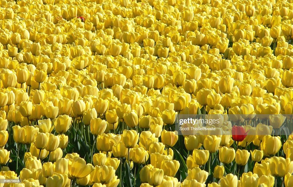 Yellow and Red Tulips - One in a million : Stock Photo