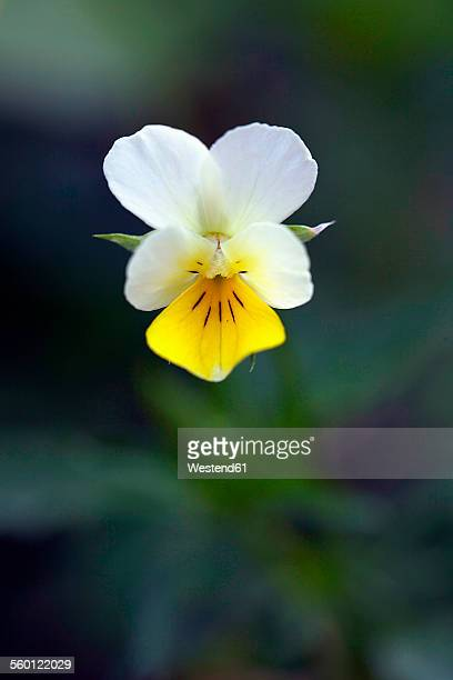 Yellow and white wild pansy in bloom