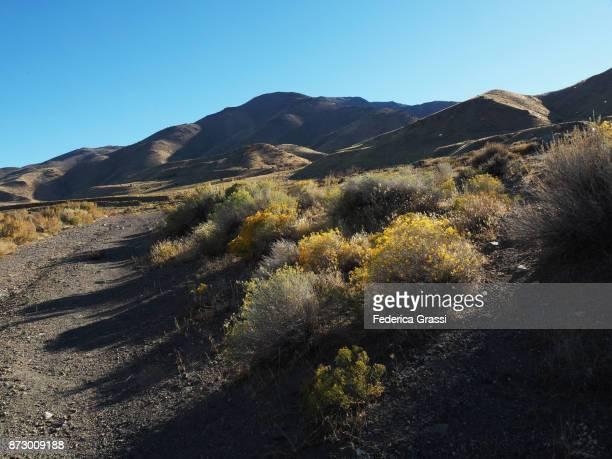 Yellow Artemisia Tridentata Flowers (Sagebrush)