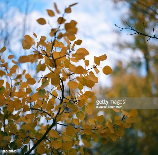 Yellow aspen leaves on cloudy autumn day