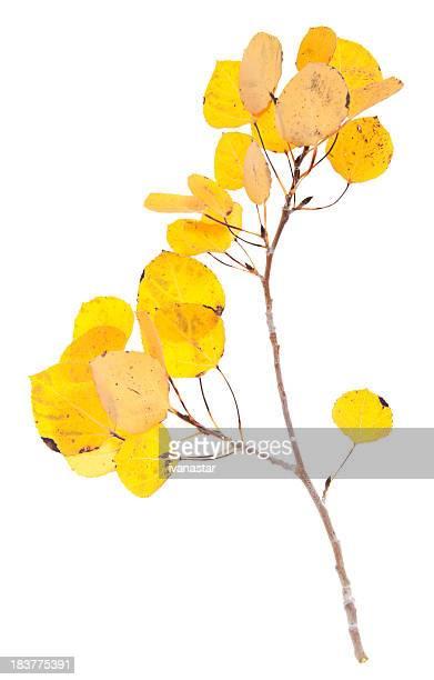 Yellow Aspen Twigs