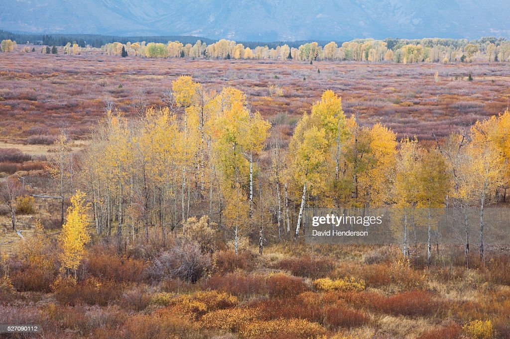 Yellow aspens set in willow scrub, Wyoming, USA : Stock Photo