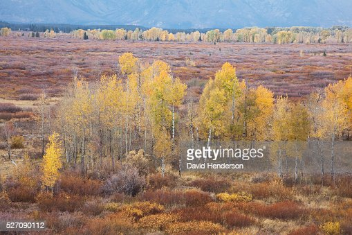 Yellow aspens set in willow scrub, Wyoming, USA : Photo
