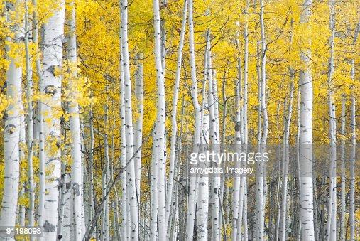 黄秋のアスペンの葉と白の模様 trunks