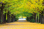 Yellow autumn color adorns the trees in this grove of Ginkgo treesYellow autumn color adorns the trees in this grove of Ginkgo trees