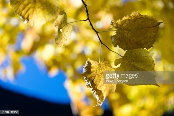 Yellow autumn leaves in the Andorra pyrenees
